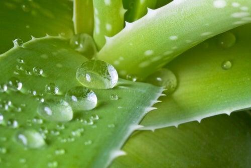 Aloe per eliminare le cisti