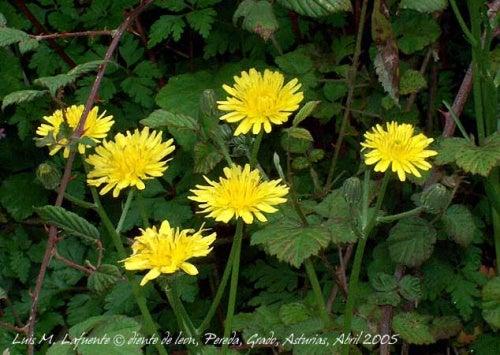 fiore dente di leone tra le piante che aiutano a dimagrire