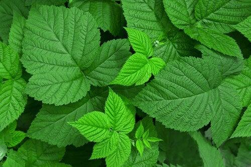 foglie di lampone