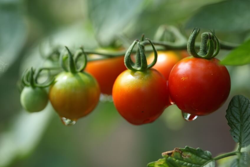 benfici pomodoro