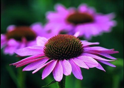 Echinacea purpurea è uno dei rimedi per le vene varicose
