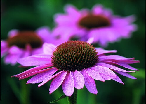 l'echinacea è una pianta erbacea originaria dell'America