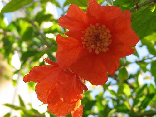 fiori melograno