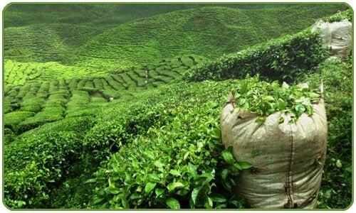Piantagioni di tè verde