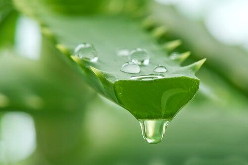 Gli effetti più importanti offerti dall'Aloe per la pelle si devono agli amminoacidi, soprattutto la valina, fenilalanina, leucina e lignina.