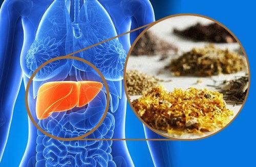 Pulire il fegato con le piante medicinali