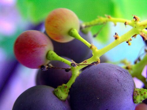 Chicchi d'uva