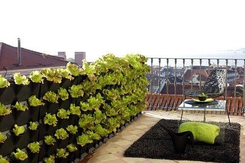 lattughe in terrazzo