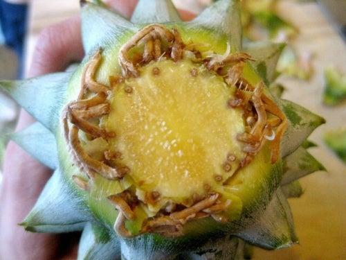 coltivare ananas radici dalla corona