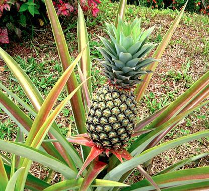 pianta di ananas con frutto