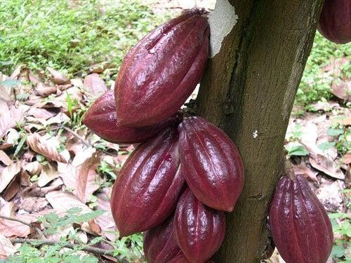 Pianta di cacao