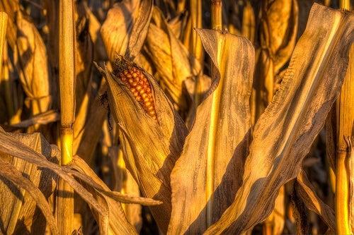 pianta di mais con pannocchia