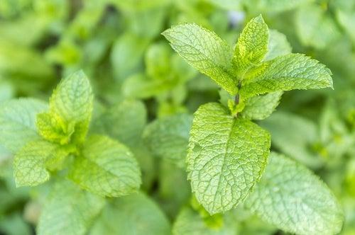 piante che attraggono energia positiva - menta
