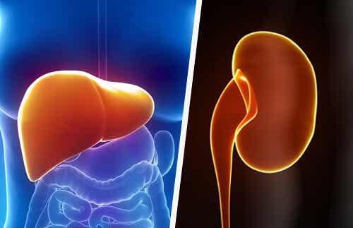 Come mantenere fegato e reni sani in modo naturale