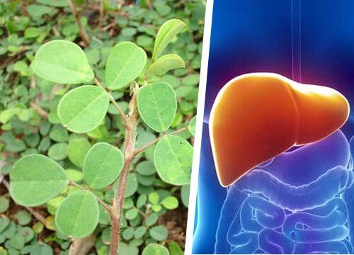 La pianta che aiuta il fegato a rigenerarsi