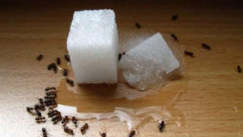 Repellenti per formiche naturali ed economici