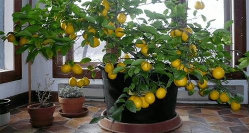 Come fare crescere un albero di limone in casa