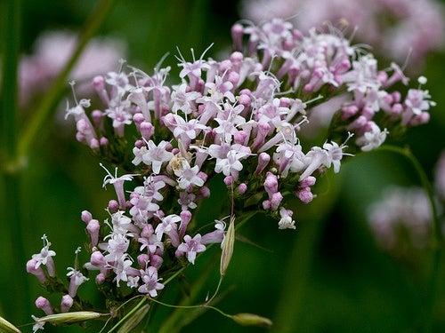 La-valeriana-una-pianta-medicinale-per-curare-insonnia