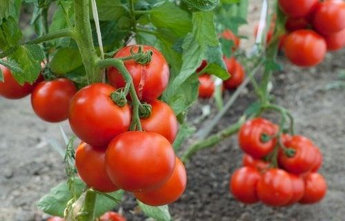 Come coltivare i pomodori a casa