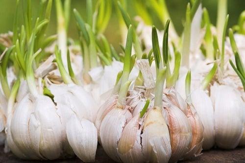 L'aglio germogliato fa bene: non gettatelo!