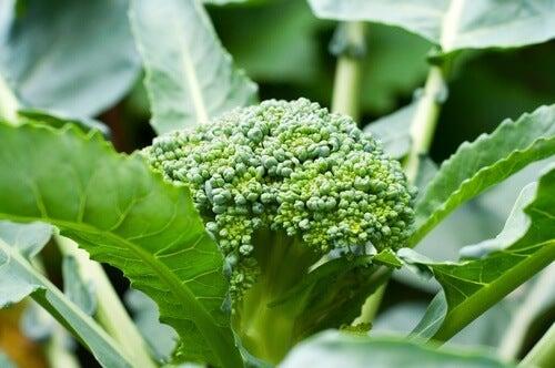 anche le foglie del broccolo possono essere mangiate
