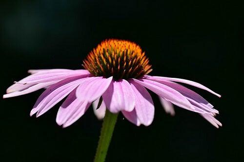 echinacea-500x331