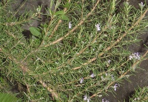 Il rosmarino è un ottimo rimedio naturale per eliminare le zecche