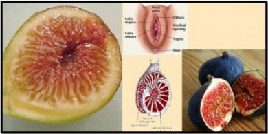 organi sessuali