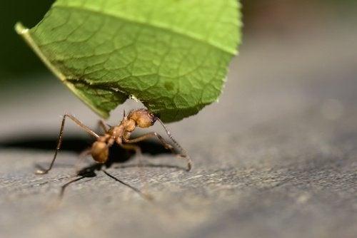 formica con foglia