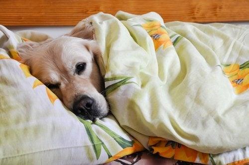 cane-a-letto