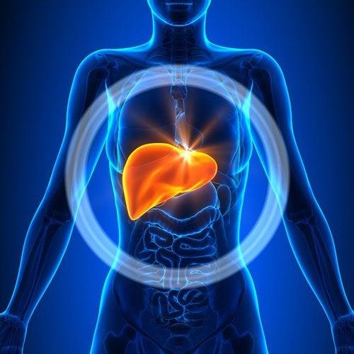 il fegato svolge una grande quantità di funzioni