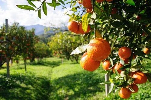 Piantaigone di arance
