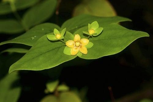 fiori-di-iperico