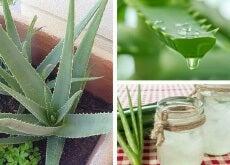 pianta e gel di aloe vera