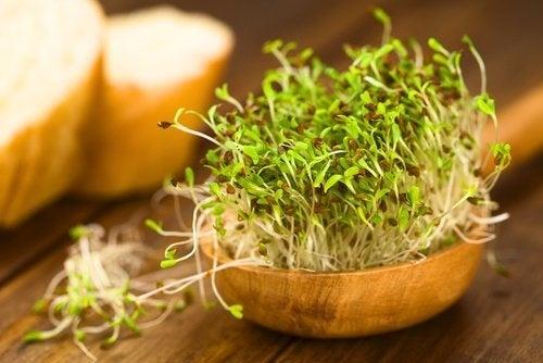 Germogli di alfalfa