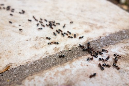 formiche impieghi del limone