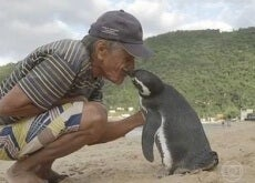 pereira pinguino