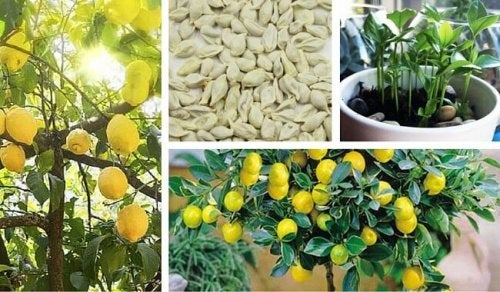 Semi di limone: piantarli per ottenere un bell'albero