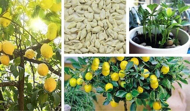 Come piantare semi di limone per ottenere un bell'albero