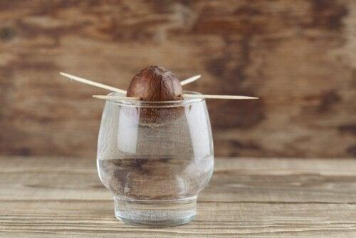 Per far germogliare un seme di avocado è necessario immergerlo parzialmente in acqua