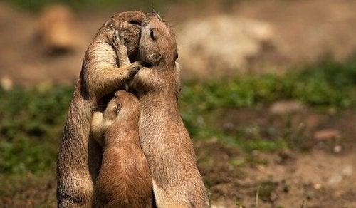 baci fra marmotte baci