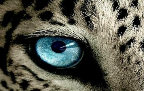 occhio di ghepardo sguardo
