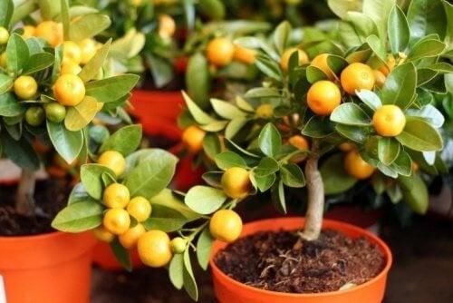 vasi con alberi di limone