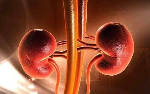 Funzione dei reni al trattenere l'urina