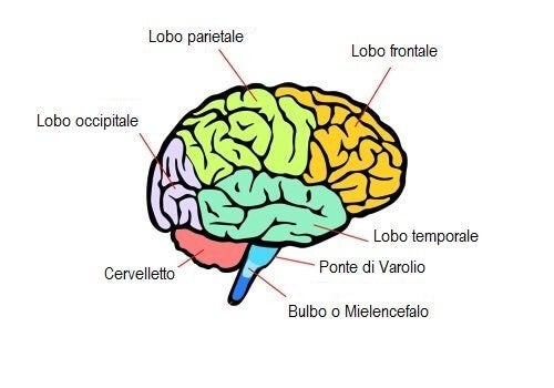 best website 88057 76f21 Quali sono le aree del cervello e che funzioni hanno ...