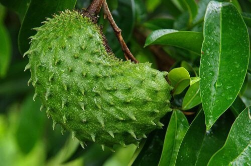 I benefici della guanabana, delizioso frutto tropicale