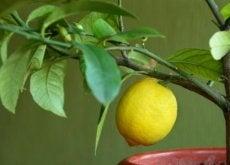 alberi da frutto limone