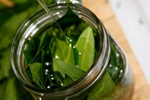 Come preparare l'olio essenziale di alloro e sfruttare i suoi benefici