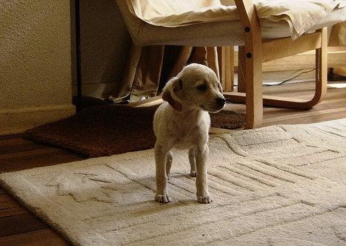 cucciolo di cane sul tappeto