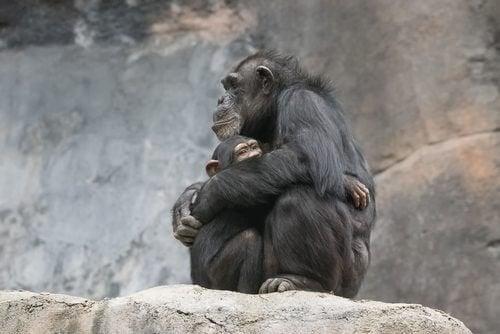 Abbraccio tra scimmie